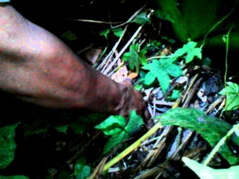 Penarikan Rante Babi(duniakramat.blogspot.com)