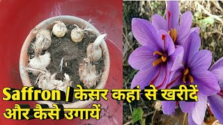 How to Grow Saffron From Bulbs | Saffron Bulbs | केसर उगाना