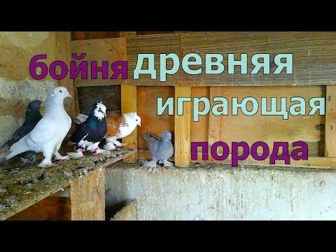 Армянские бойные голуби Armenian Battle Pigeons