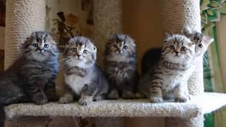 Шотландские вислоухие котята питомник Melody Soul продажа (