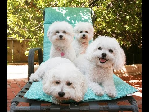 Bichon Frise (dog breed HD slide show)! / Бишон   фризе  !