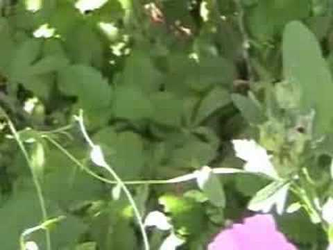 Invasion of the bindweed