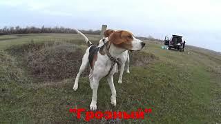 Русские пегие гончие Краснодарский край владелец Терновой А.А.
