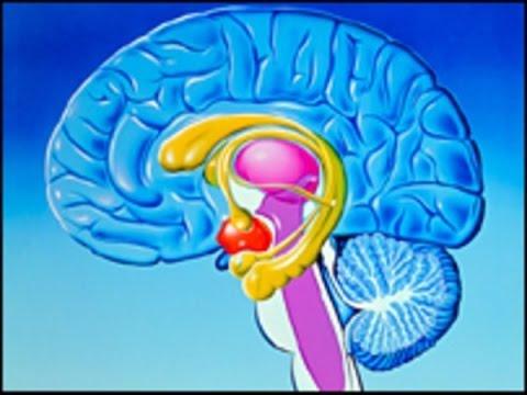 !!!Лимбическая Система Мозга!!!|!!!Limbicheskaja Sistema ... Limbic System Add