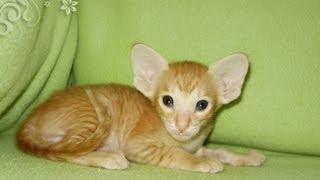 Irmina D`Aranid - Рыжий ориентальный котенок