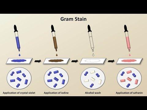 Classification of Bacteria (Antibiotics - Lecture 1)