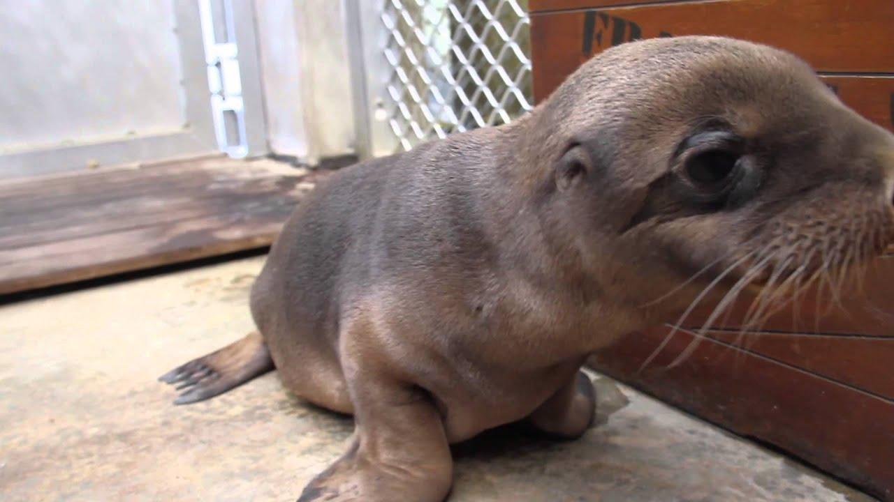 Sea lion pup born at taronga youtube sea lion pup born at taronga publicscrutiny Images
