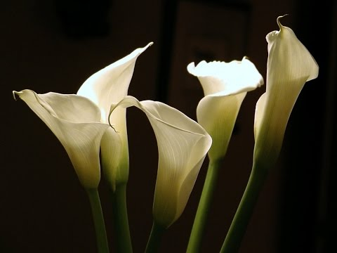Image Result For Calla Lily Hd Background