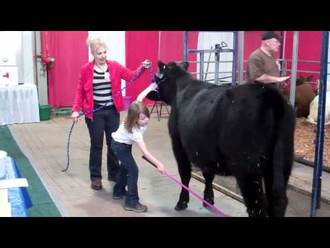 Techniques to Halter-Break Calves with Ease