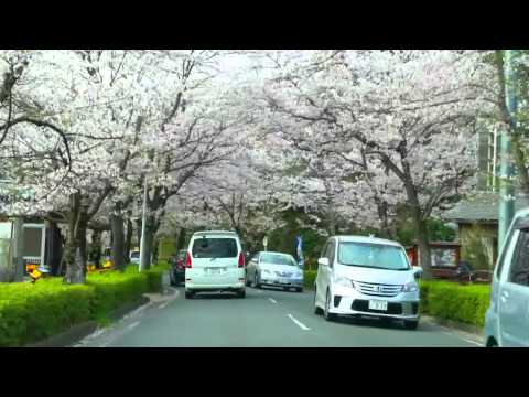 2013 長瀞の桜 Cherry blossoms are in full bloom (nagatoro  Japan)