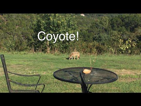 Coyote in my backyard!   MicBergsma - YouTube