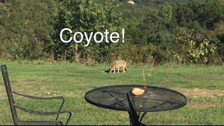 Coyote in my backyard!