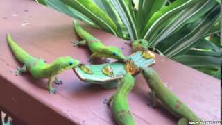 Madagaskar Gecko's with Yoshi sounds