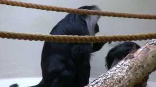 Lion Tailed Macaques Taking Turns Grooming CM Zoo Cheyenne Mountain...