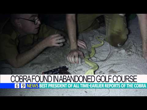 BREAKING NEWS-King  Cobra in Orlando found in abandoned Golf Course