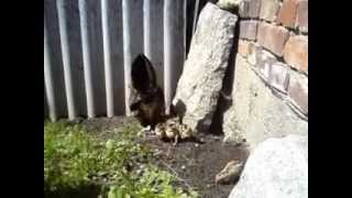 Kura zielononużka kuropatwian o ciemnym ubarwieniu