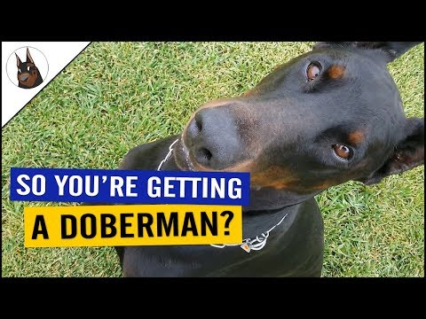 Do You Want a DOBERMAN? Check This!!