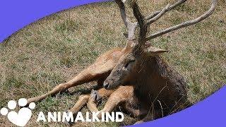 Deer conservation 16x9 FINAL