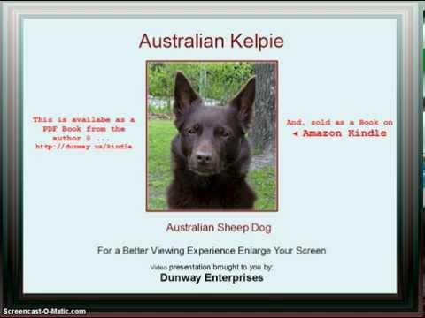 kelpie-(australian-sheep-dog)-tips/training-techniques!