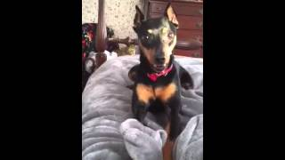 Crazy Min Pin Vs Cat