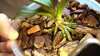 ОРХИДЕЯ в СЕРАМИСЕ зацвела, а Орхидея без грунта растит КОРНИ и ЛИСТЬЯ