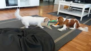 Cavalierkingcharlesspaniel VS. Jackterrier