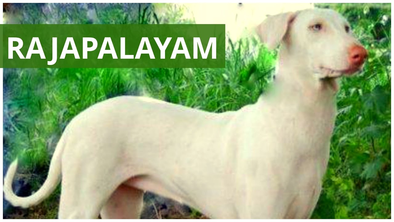 Rajapalayam An Indian Breed Hound Dogs Breeds Dogs Profile