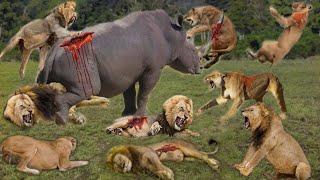 देखिए केसे इस एक गेंडे ने शेरों के पूरे झुंड को कुत्तो की तरह मारा| 10 Animal That can defeat a lion