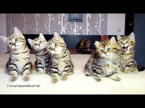 Funny Cats : Chorus line of Kittens performs Christmas dance