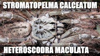 S. calceatum & H. maculata Ghana