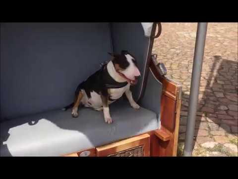 BULLTERRRIER AM HAFEN IM STRANDKORB Bull Terrier Mini Bully Miniature Hund Tier Haustier Bulli