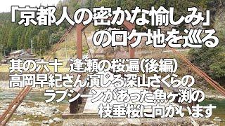 「京都人の密かな愉しみ」其の六十 逢瀬の桜遍(後編)で高岡早紀さん演じる深山さくらのラブシーンがあった魚ヶ渕の枝垂桜に向かいます。