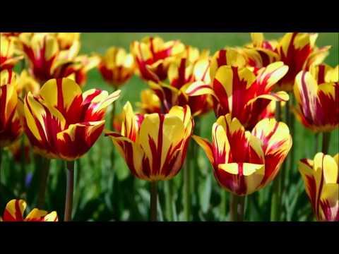 Тюльпаны для начинающих цветоводов. Сроки посадки тюльпанов.
