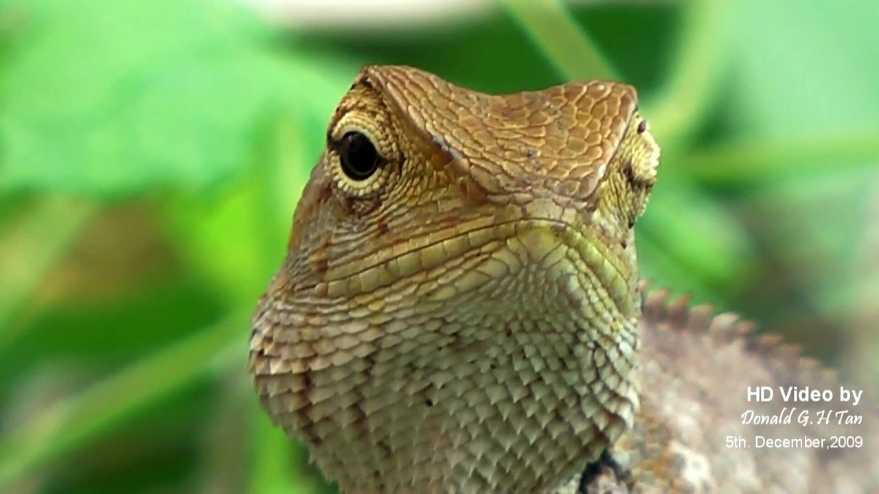 Our Resident Garden Lizard - YouTube