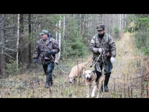 Русская охота на зайца с гончими по чернотропу! +18