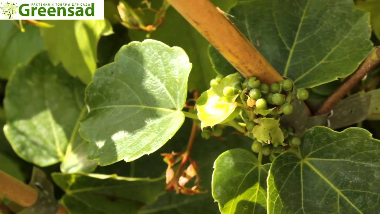 дикий виноград фото посадка и уход