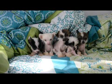 Hairless Chinese Crested puppies part 2 6 wks