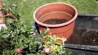 Rejuvenating Potted Roses