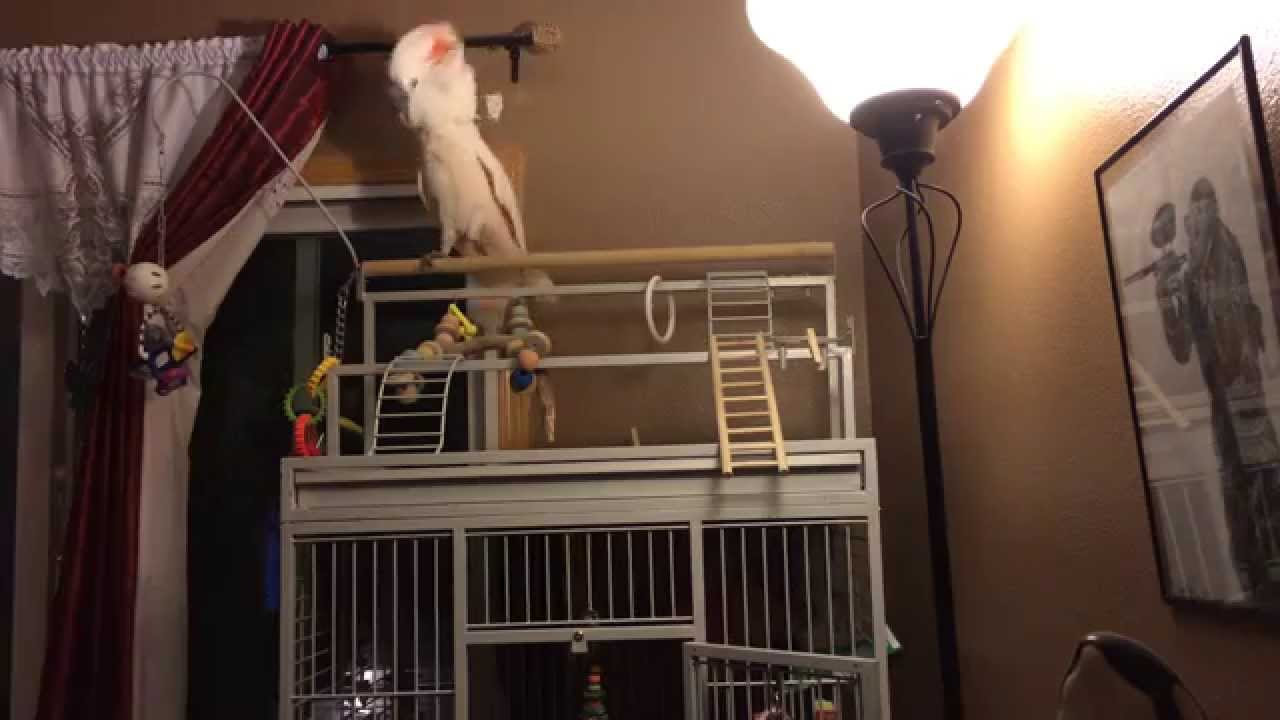 gotcha-having-a-mega-cockatoo-meltdown-warning-loud-lol