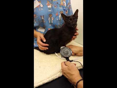 Nadciśnienie u kota: jakie są przyczyny i jak leczyć wysokie ciśnienie?