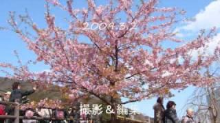 桜・菜の花・ローズマリー 春の松田山ハーブガーデン 2009年3月2日 神奈...