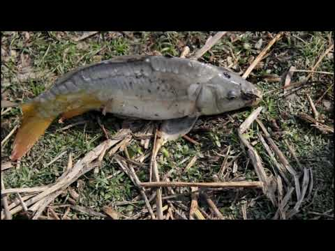 Download Big Carp Fish catching in mud water pond using a fishing net and catch fish by hand