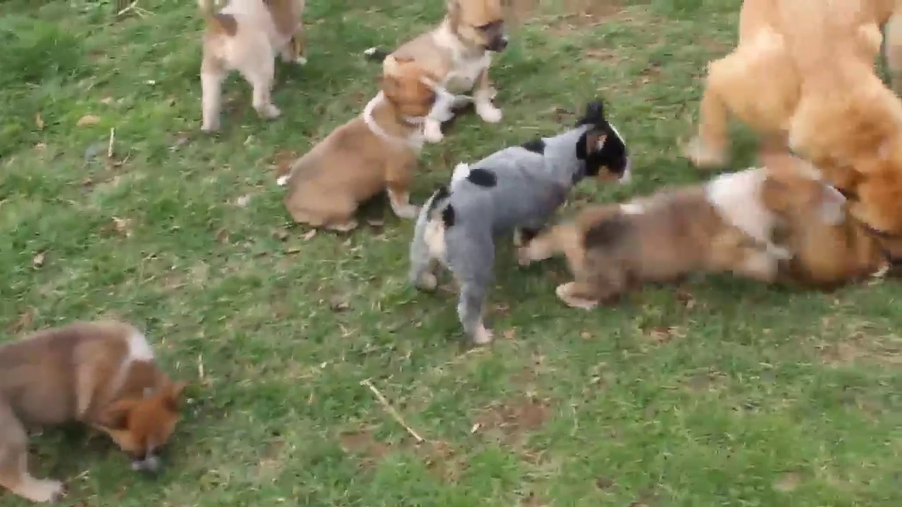 Red Heeler Puppies For Sale Youtube