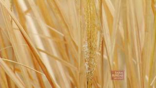 Miscanthus Biomass Project - Arkansas Farm Bureau