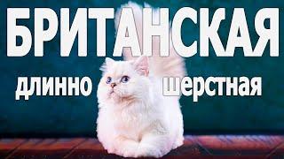 Все о породе британская длинношерстная кошка