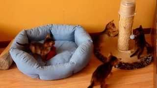 Абиссинские котята с кошкой