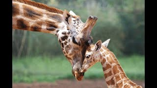 ZooBorns: Australia! Episode 1 - Baby Giraffe