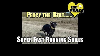Black Labrador 'Percy' showing off his 'Super Fast' running skills!