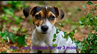 Indi 🐶 chiot Jack Russell Terrier - 3 mois
