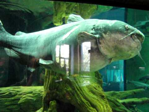Huge 180 Lb Aquarium Catfish Youtube